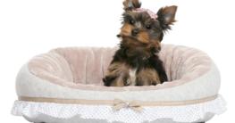 Yorkshire Terrier im Hundekorb